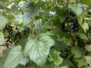 Black currants on the shrub